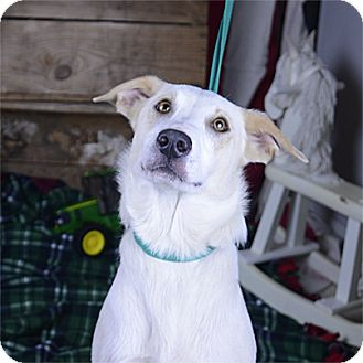 Border Collie/Pointer Mix Dog for adoption in Stillwater, Oklahoma - Lucy
