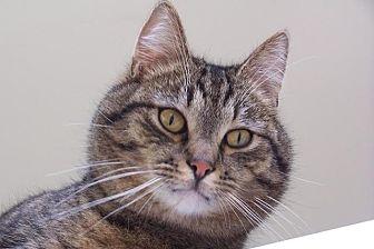 Domestic Shorthair Cat for adoption in Lambertville, New Jersey - Ziggy