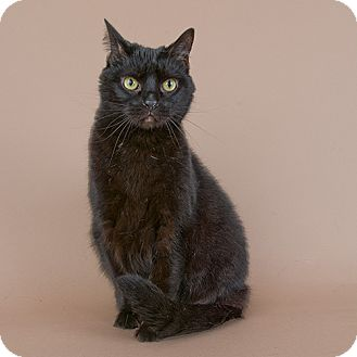 Domestic Shorthair Cat for adoption in Wilmington, Delaware - Tons