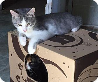 Domestic Mediumhair Kitten for adoption in Spencer, New York - Victor