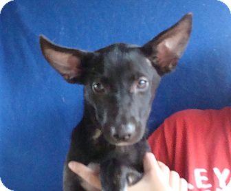 Australian Shepherd/Australian Cattle Dog Mix Puppy for adoption in Oviedo, Florida - Shelby