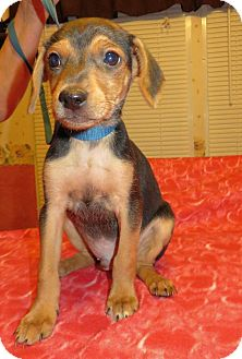 Beagle/Dachshund Mix Puppy for adoption in Plainfield, Connecticut - Inca