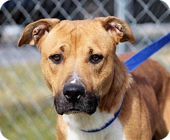 Labrador Retriever/Boxer Mix Dog for adoption in Liberty Center, Ohio - Roxann