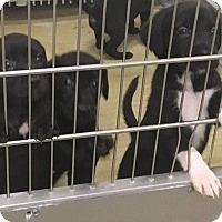 Adopt A Pet :: Lab-Collie - Denver, CO
