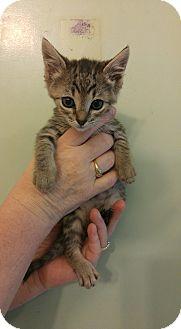 American Shorthair Kitten for adoption in Bryson City, North Carolina - Obi Wan