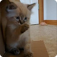 Adopt A Pet :: Toblerone K4 Aka Hummy - Sherwood, OR