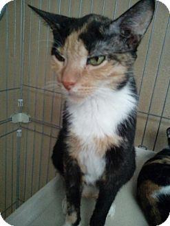 Calico Cat for adoption in Hudson, Florida - NIKKI