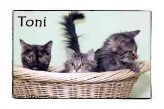 Domestic Shorthair Cat for adoption in Warren, Pennsylvania - Toni