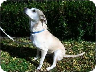 Labrador Retriever Mix Dog for adoption in Newport Beach, California - SCHUYLER