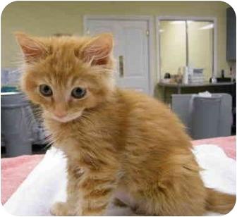 Domestic Mediumhair Kitten for adoption in Modesto, California - Nutmeg