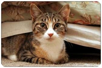 Domestic Shorthair Cat for adoption in Sterling Heights, Michigan - Holly - ADOPTED!