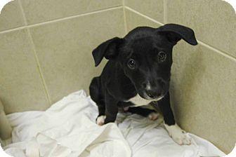 Labrador Retriever/Blue Heeler Mix Puppy for adoption in Philadelphia, Pennsylvania - Ebb