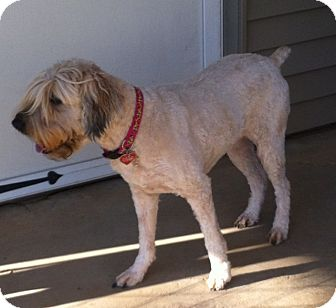 Wheaten Terrier Dog for adoption in Glastonbury, Connecticut - SANDY