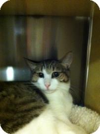 British Shorthair Cat for adoption in Tucson, Arizona - Angie