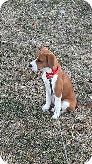 Foxhound/Labrador Retriever Mix Puppy for adoption in Naperville, Illinois - Lucy