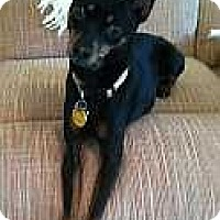 Adopt A Pet :: Annabelle (aka Belle) - Nashville, TN