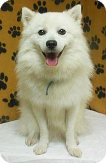 American Eskimo Dog Dog for adoption in Gary, Indiana - Snow