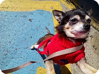 Chihuahua Mix Dog for adoption in waterbury, Connecticut - Ava