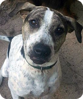 German Shorthaired Pointer/Pointer Mix Dog for adoption in Houston, Texas - Micayla