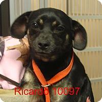 Adopt A Pet :: Ricardo - Greencastle, NC