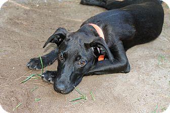 Labrador Retriever/Terrier (Unknown Type, Medium) Mix Puppy for adoption in Astoria, New York - Sydney