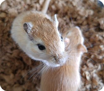 Gerbil for adoption in Lewisville, Texas - Andromeda, Medea and Atlanta
