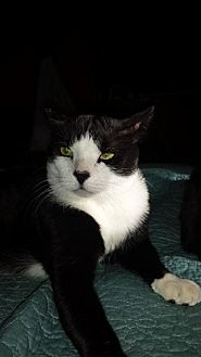 Domestic Shorthair Cat for adoption in Tustin, California - Andrew