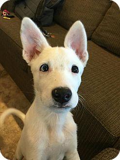 Australian Shepherd Mix Puppy for adoption in Las Vegas, Nevada - Wudge