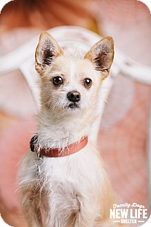 Norwich Terrier/Cairn Terrier Mix Dog for adoption in Portland, Oregon - Zeke