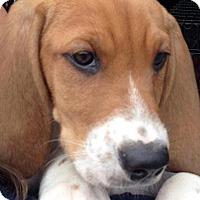 Adopt A Pet :: Fudge - Barnegat, NJ