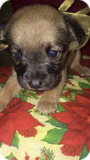 Border Collie/Polish Lowland Sheepdog Mix Puppy for adoption in Boerne, Texas - Penny