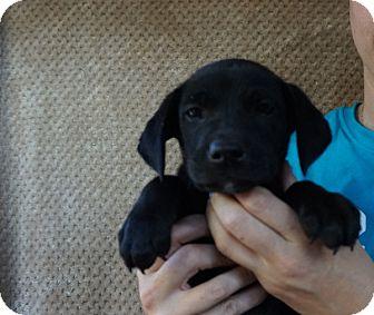 Labrador Retriever/Golden Retriever Mix Puppy for adoption in Oviedo, Florida - Leo