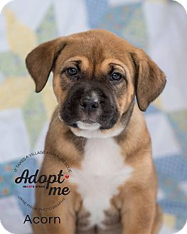Shepherd (Unknown Type)/Boxer Mix Puppy for adoption in Middletown, Delaware - Acorn