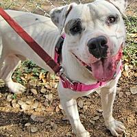 Adopt A Pet :: Big Bubba - Georgetown, TX