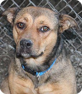Australian Cattle Dog Mix Dog for adoption in Savannah, Missouri - Julia
