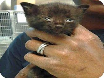 Domestic Mediumhair Kitten for adoption in Atlanta, Georgia - SED