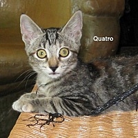 Adopt A Pet :: Quatro - Parlier, CA