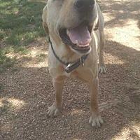 Adopt A Pet :: chopper - Foristell, MO