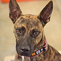 Adopt A Pet :: Valiente - San Francisco, CA