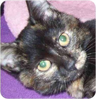 Domestic Shorthair Kitten for adoption in Annapolis, Maryland - Lolita