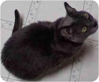 Korat Cat for adoption in Wakinsville, Georgia - Ladybug