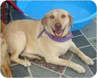 Labrador Retriever Mix Dog for adoption in Richmond, Virginia - Bennie