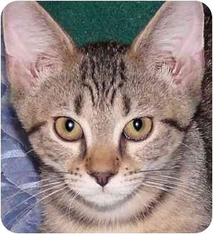 Domestic Shorthair Kitten for adoption in Chicago, Illinois - Peter