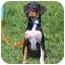 Photo 1 - Terrier (Unknown Type, Medium) Mix Puppy for adoption in Austin, Minnesota - Dundee