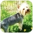 Photo 3 - Yorkie, Yorkshire Terrier Dog for adoption in Kokomo, Indiana - Jackson