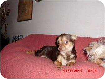 Chihuahua Dog for adoption in Long Beach, New York - Tiny