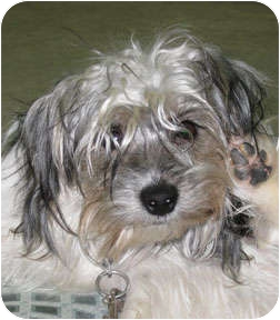 Yorkie, Yorkshire Terrier Mix Dog for adoption in Bonners Ferry, Idaho - Fritz