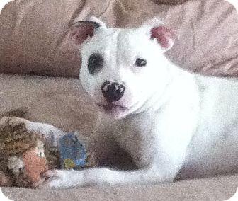 Pit Bull Terrier Mix Puppy for adoption in Columbus, Nebraska - Emma