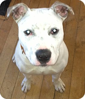 American Bulldog/Terrier (Unknown Type, Medium) Mix Puppy for adoption in Worcester, Massachusetts - Andy