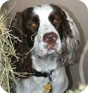 English Springer Spaniel Dog for adoption in Minneapolis, Minnesota - Chance